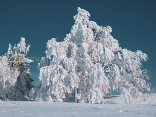 Novelty Virtual Background for Zoom view of snow-covered tree