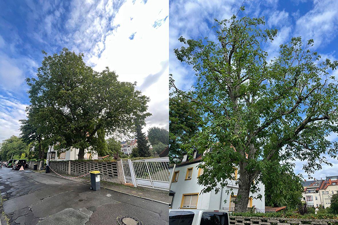 Kronensicherungsschnitt eines Nussbaumes in Leipzig/Connewitz