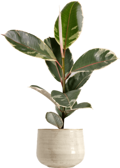 Tineke Rubber Fig (Ficus elastica 'Tineke' ) - from £12