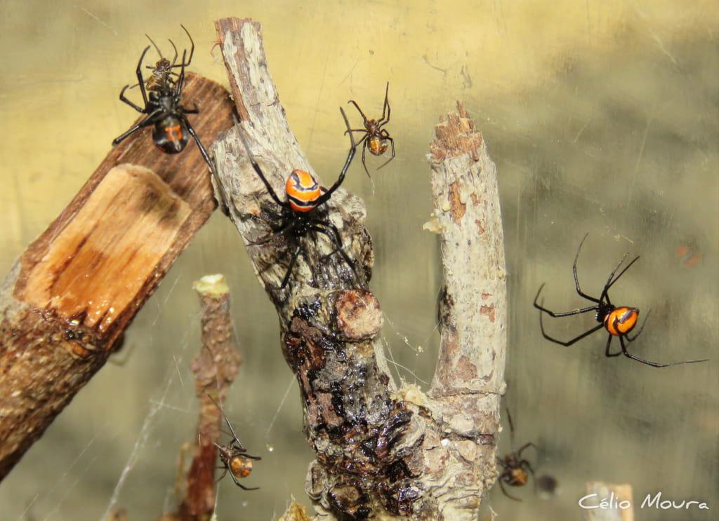 Sete aranhas flamenguinhas em sua teia entre galhos. Em uma delas é possível ver o desenho de ampulheta na parte inferior de seu abdômen