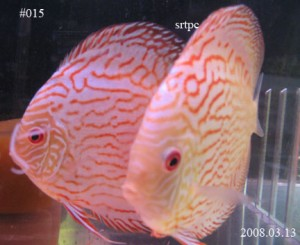 How to Identify Male or Female for Discus Fish