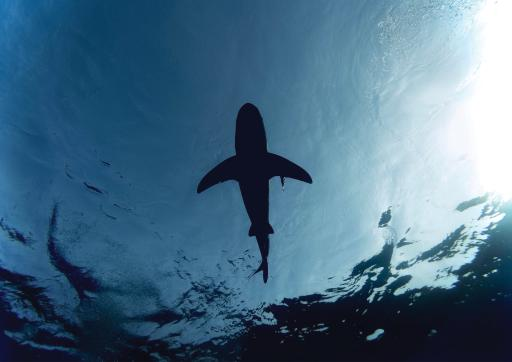 Single shark swimming in water above camera