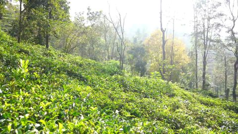 View of the tea gardens close by