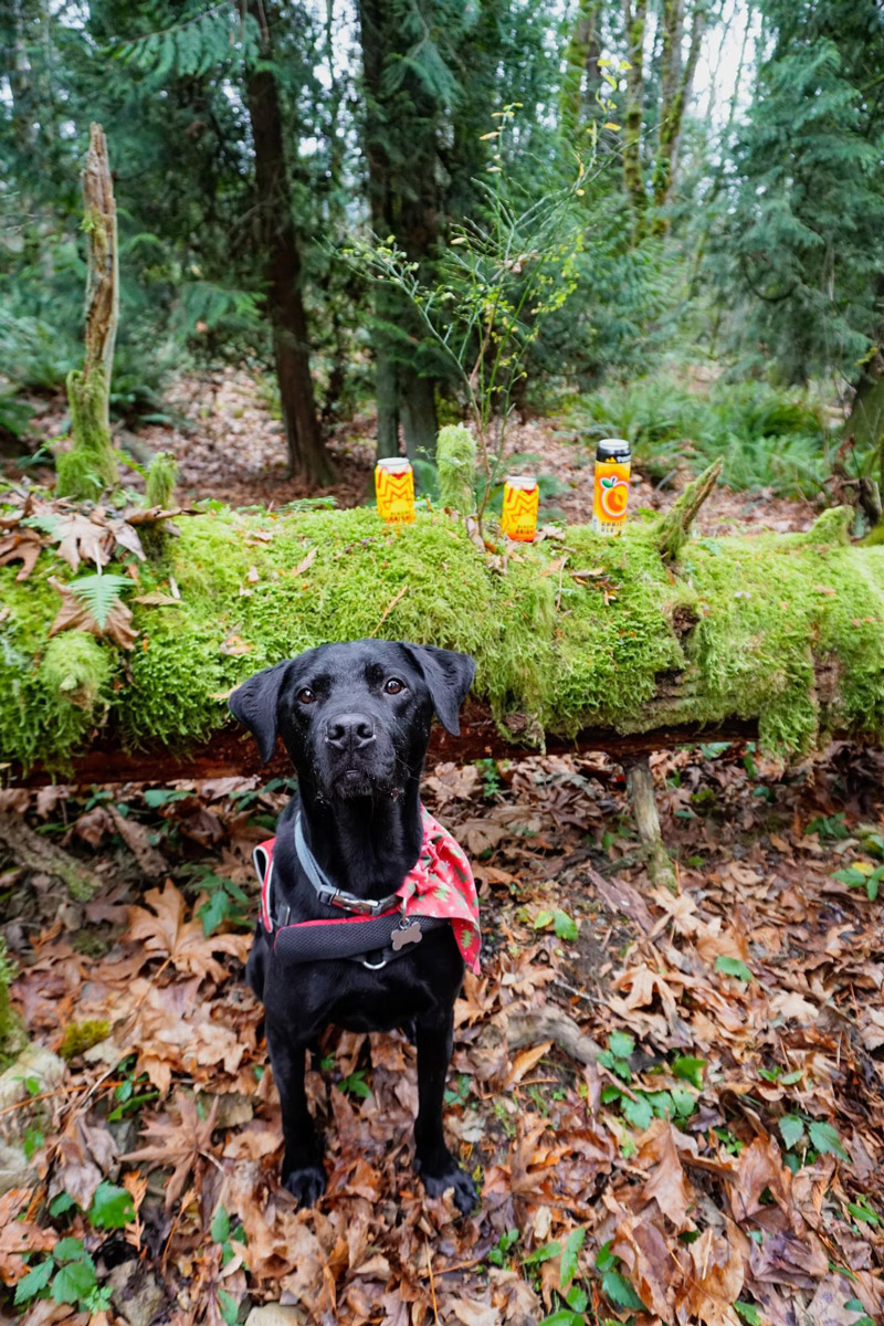 A black labrador wearing a trail harness looks up at the camera from a leaf covered forest floor. Behind him is a moss covered log with several cans of Pyramid beer resting on it. In the background is a green forest.