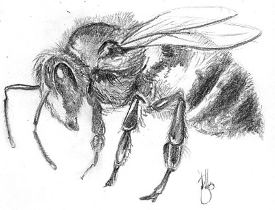 Bee Sketch