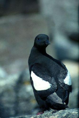 A Black Guillemot looks back