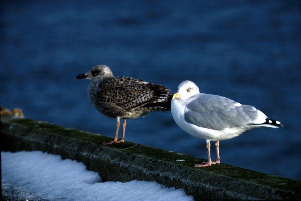 Two Herring Gulls on Midyell Pier