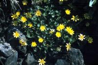 Lesser Celandine growing between the stones