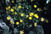 Lesser Celandine growing between the stones