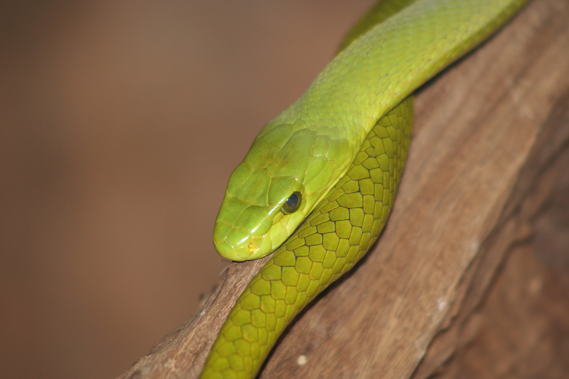 Serpiente venenosa mamba