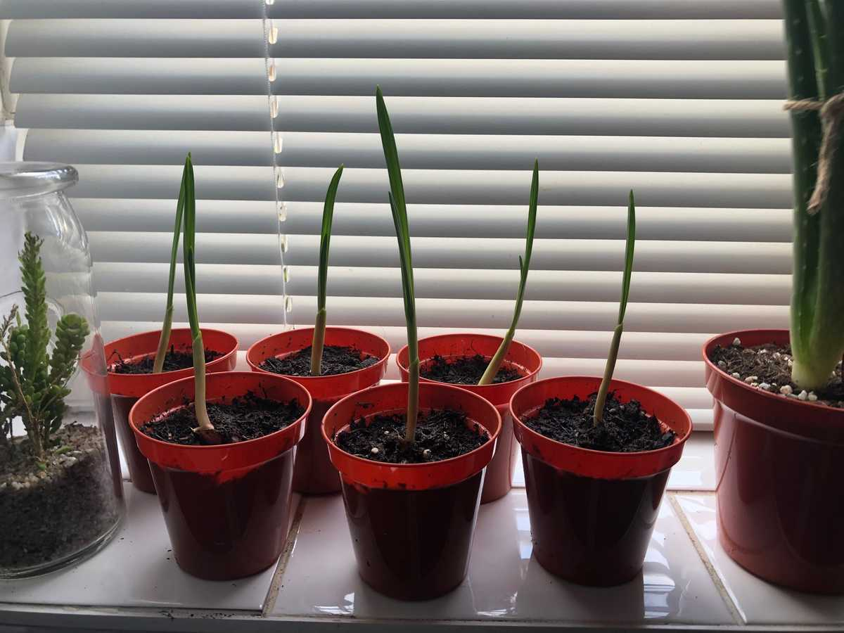 Potted cloves of garlic
