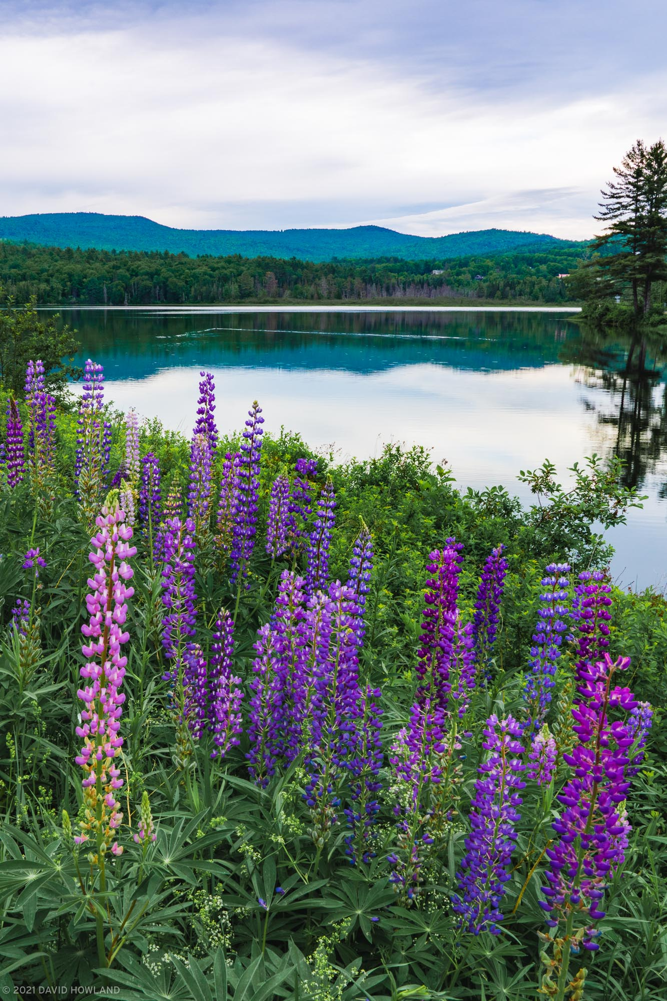 Lupines at Pearl Lake