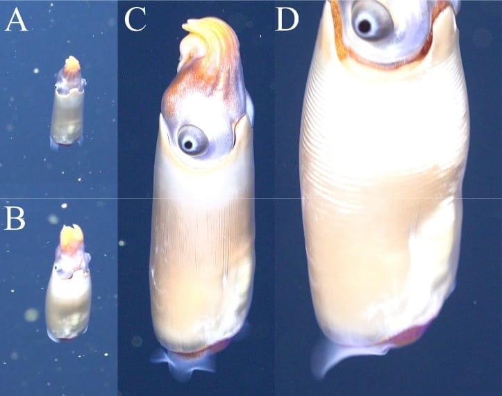 Primeiro espécime de S. spirula encontrado vivo no mar. A lula está com o manto direcionado para baixo e seus tentáculos estão direcionados para cima.