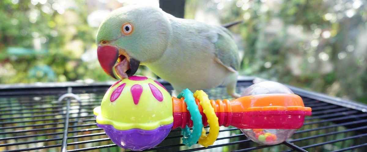 Magick the Indian Ringneck playing with her rattle