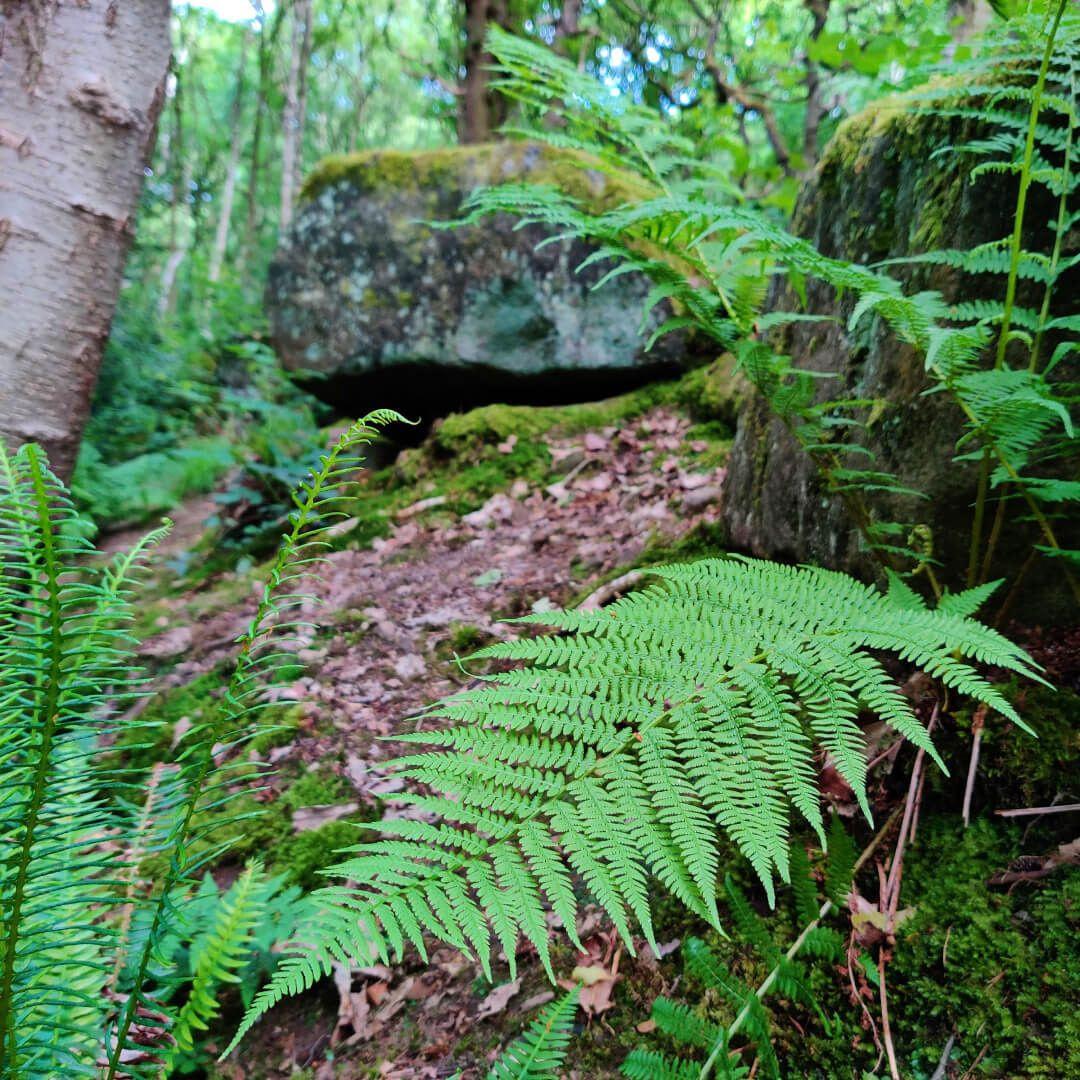 Hawksworth Wood ferns