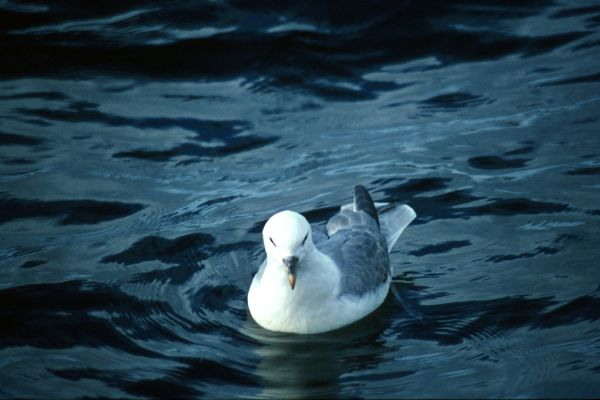 A lone Fulmar swimming on the sea