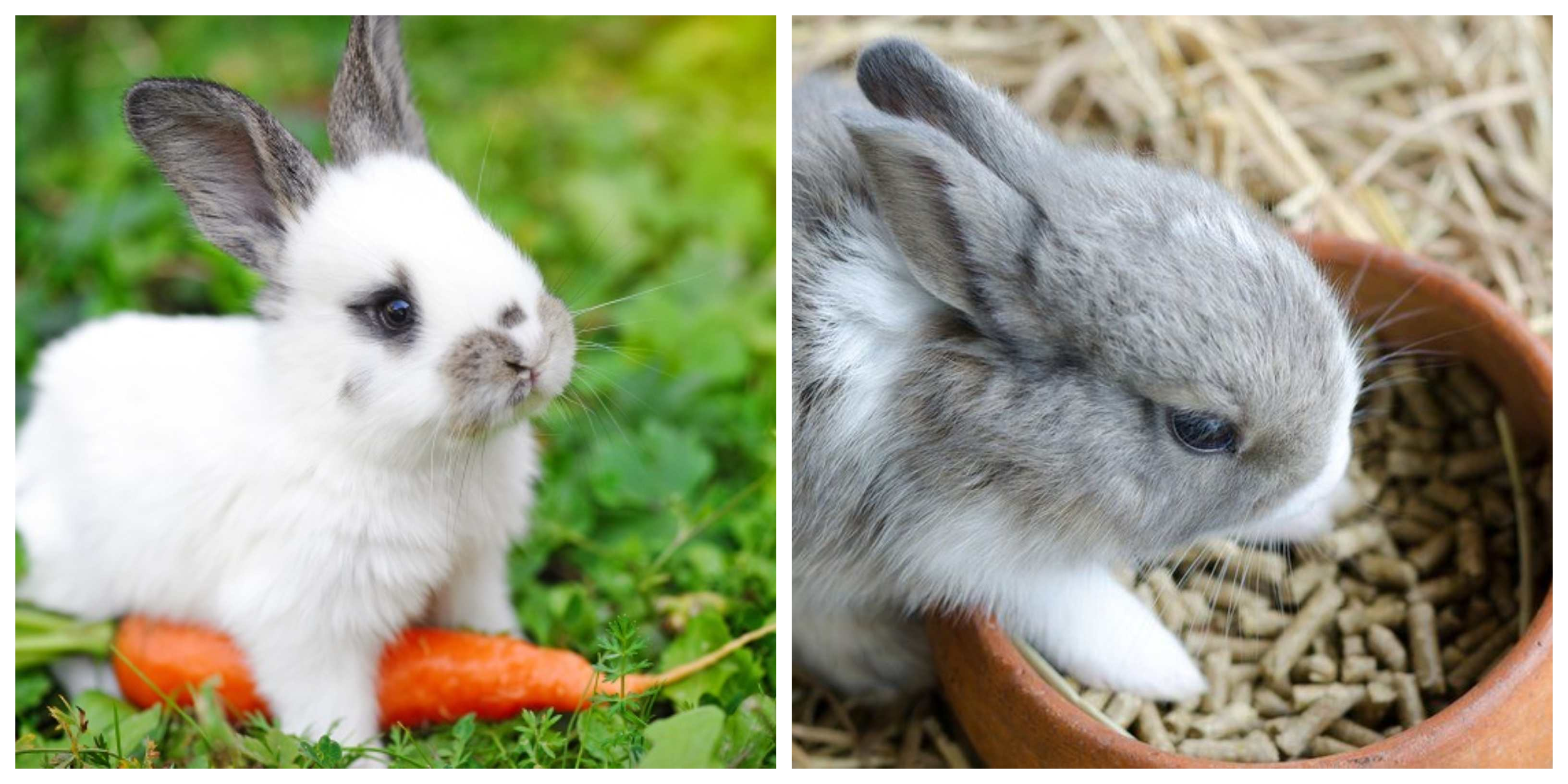 two rabbits eating carrots and feed