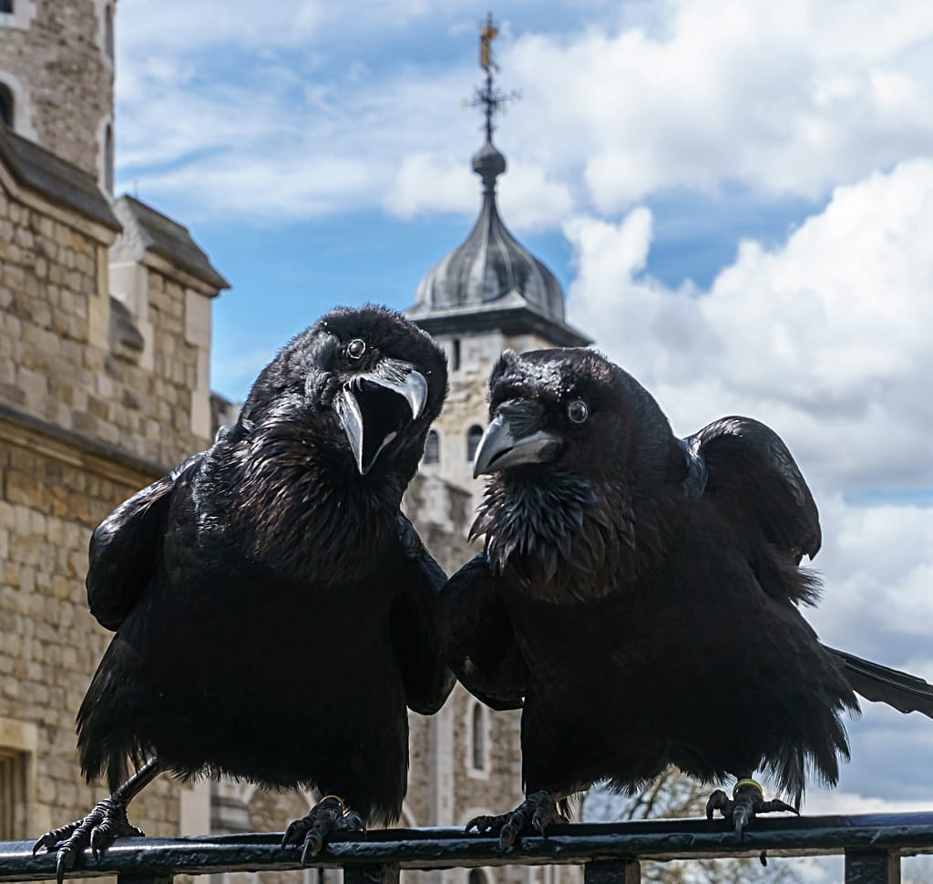 Attribution: © User:Colin / Wikimedia Commons / CC BY-SA 4.0. Jubilee was hatched in Somerset in 2012 and wears a gold band. He was given to the Queen on her Diamond Jubilee. Munin was hatched in North Uist in 1995 and wears a light green band. She is the oldest raven at the tower.