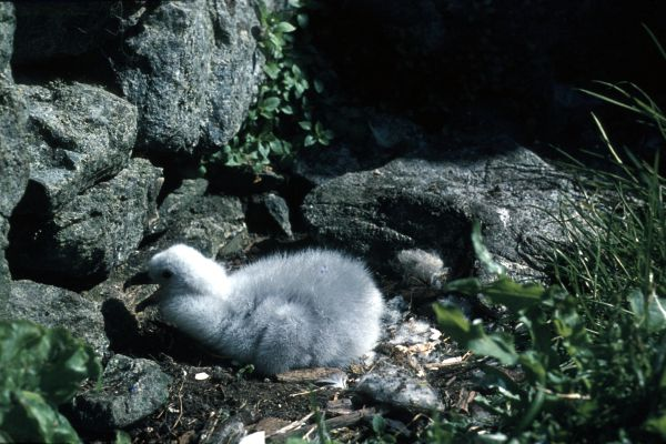 A small Fulmar chick in the nest