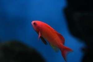 Tropical Fish Breeding Requires a Safe Living Environment