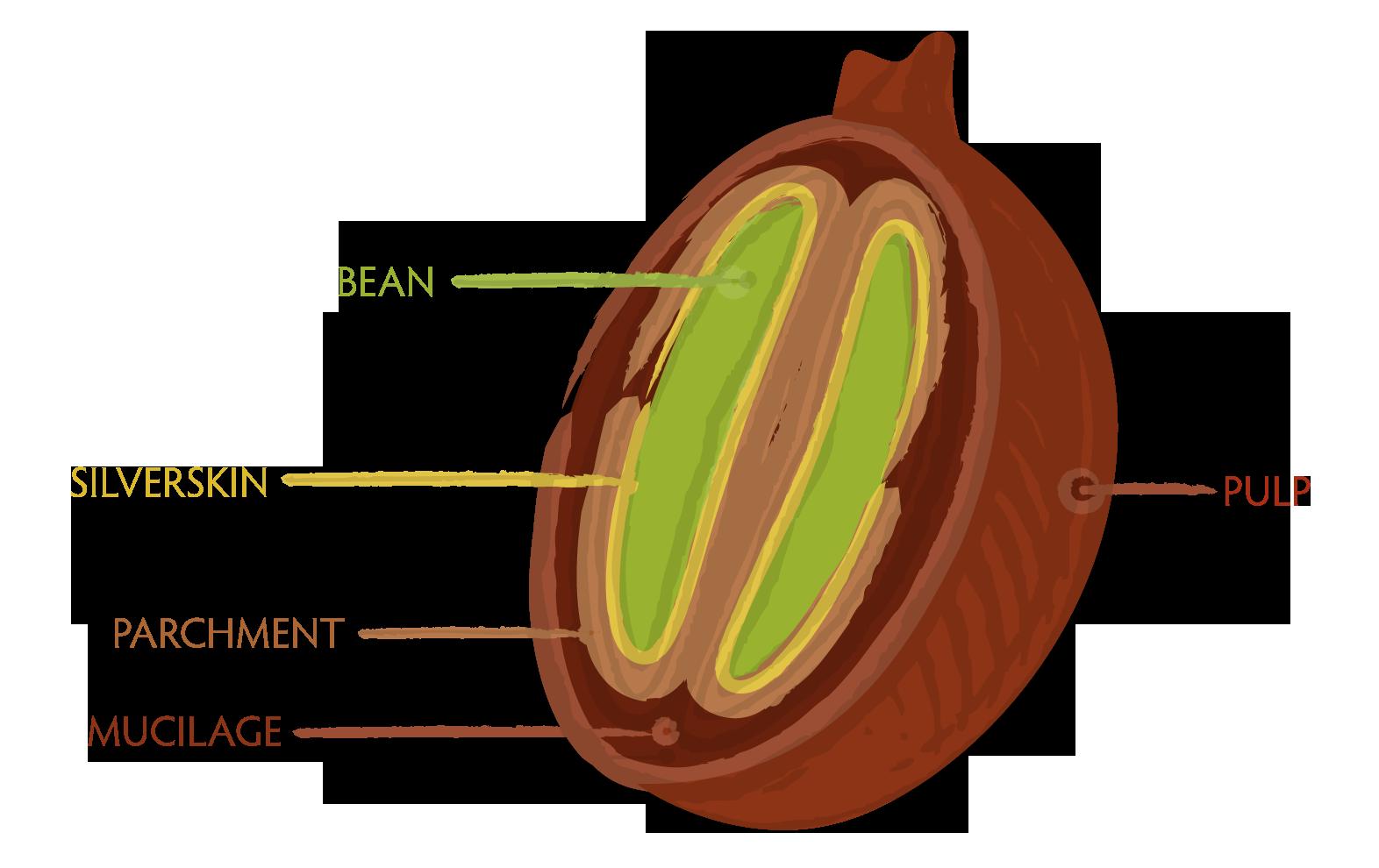 Coffee Bean Cross Section
