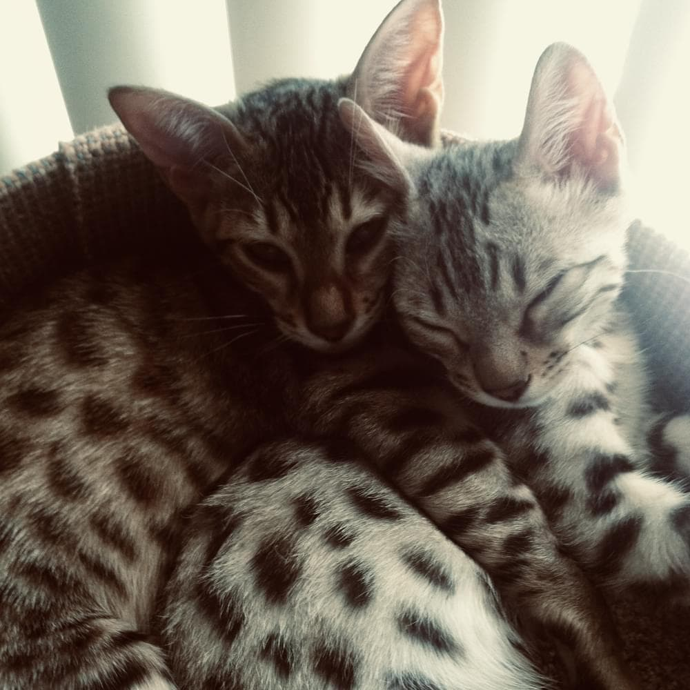 Two bengal kittens cuddled together.