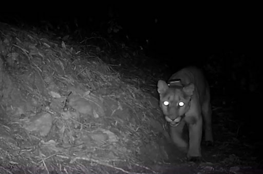 A mountain lion walking along a forest path at night captured in infrared light.
