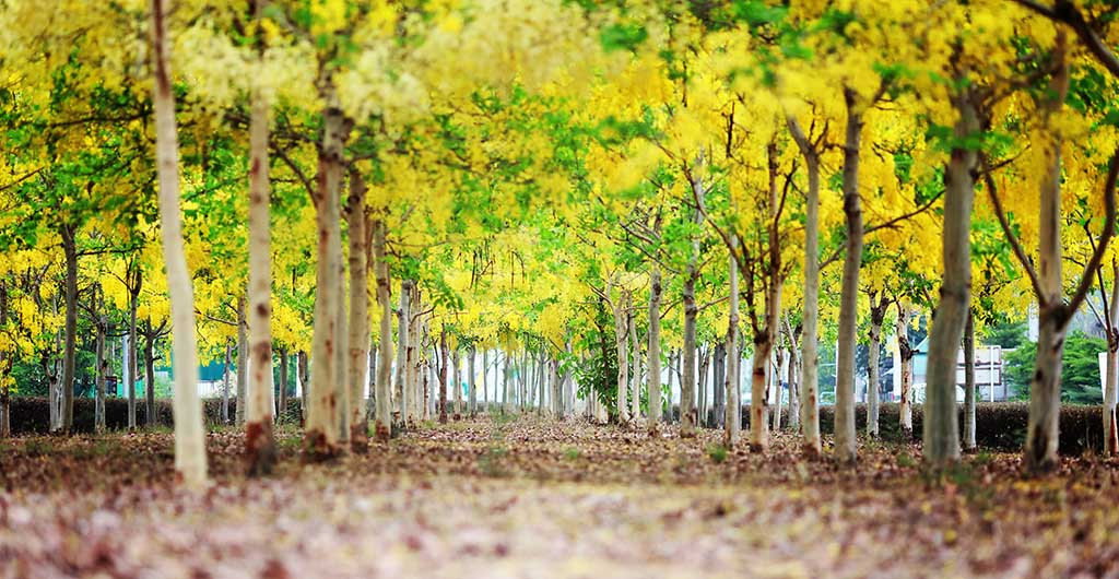 Amaltas (Cassia fistula) also known as the golden shower tree.