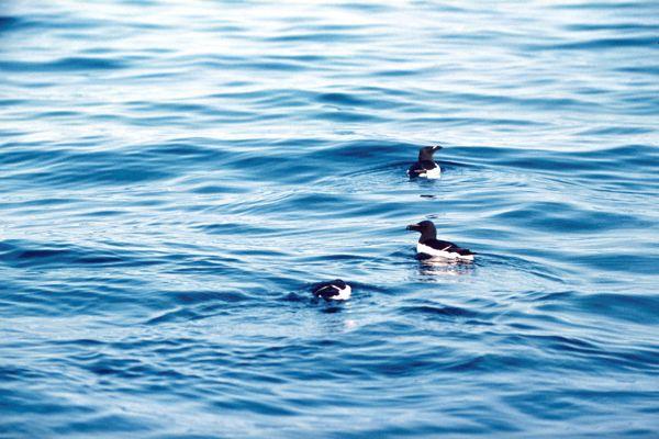 Three Razorbills on the sea