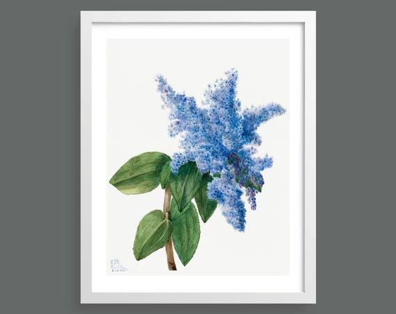 Californian Lilac (Ceanothus Thyrsiflorus) by Mary Vaux Walcott