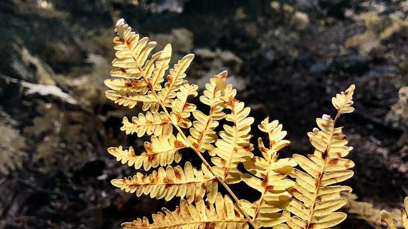 A fern leave that has turned yellow