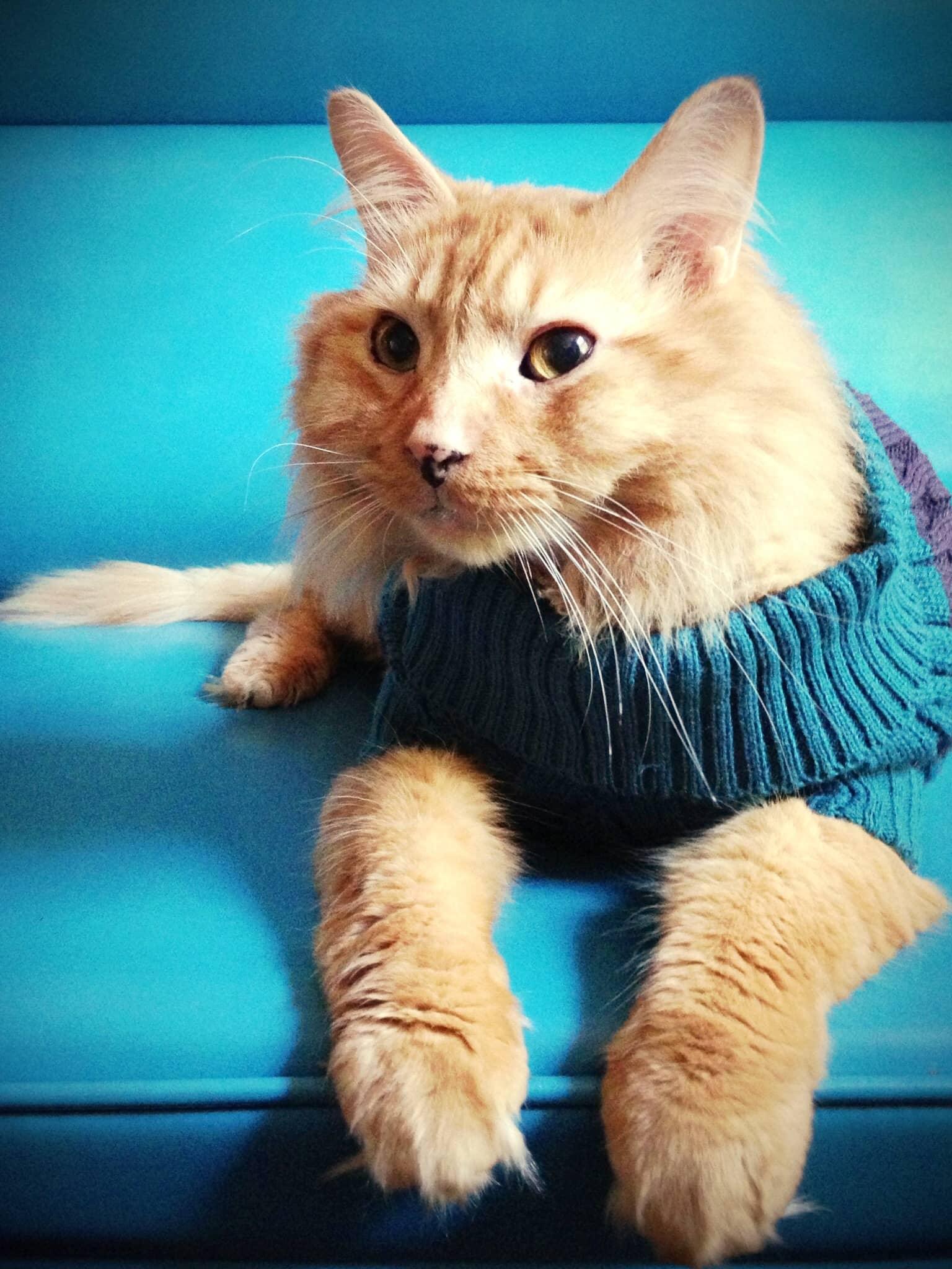 Haskell the kitty in a sweater