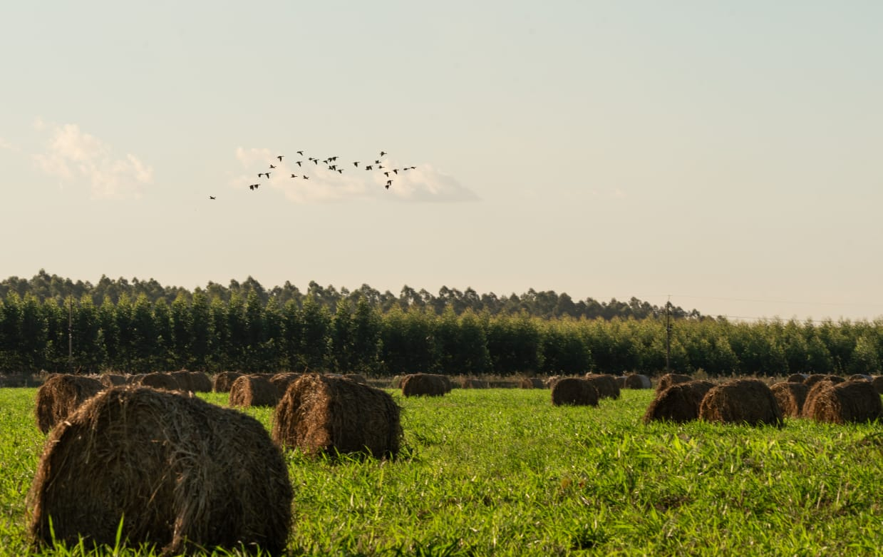 Hay bales on a field and birds flying overhead