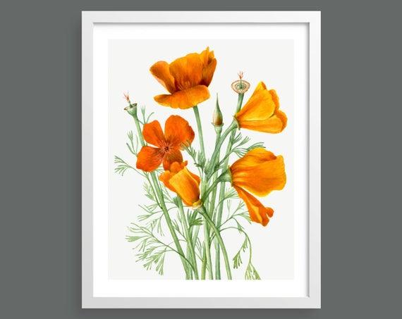 Californian Poppy (Eschscholtzia Californica) by Mary Vaux Walcott