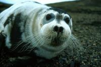This Bearded Seal was quite tame.