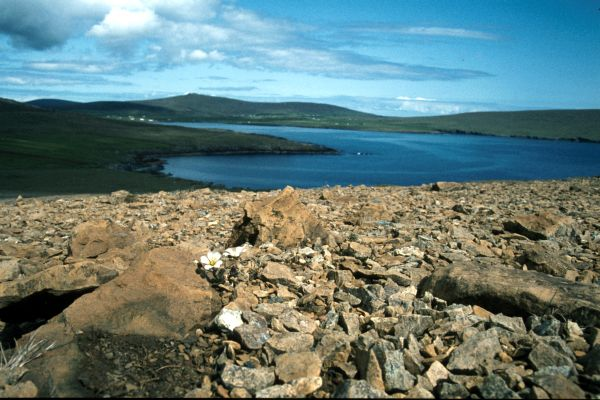 A few Arctic Sandwort flowers growing on rocky ground