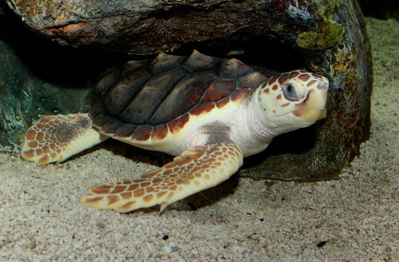 Tartaruga-comum entre as rochas no leito marinho. É possível ver sua garra na nadadeira direita.