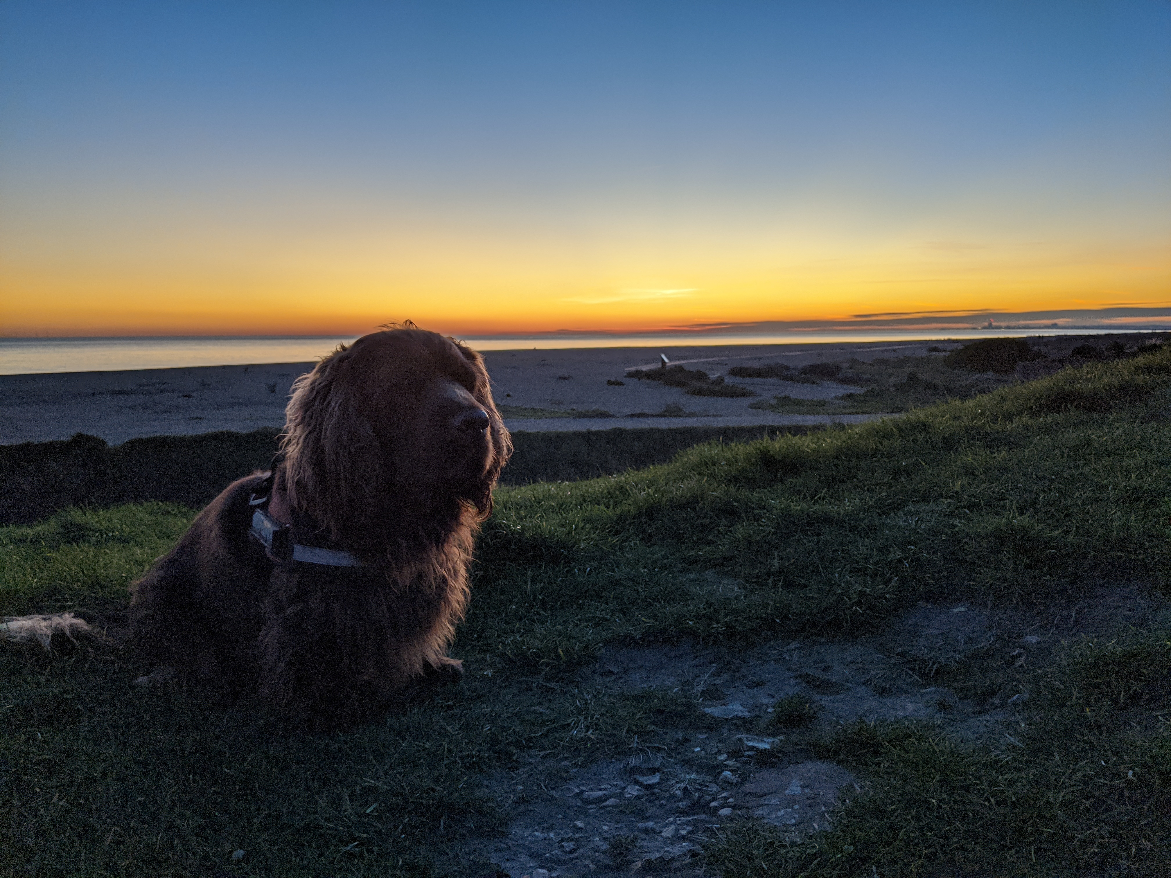 Sussex Spaniel sat on top of a hill with the sea and sunset in the background.