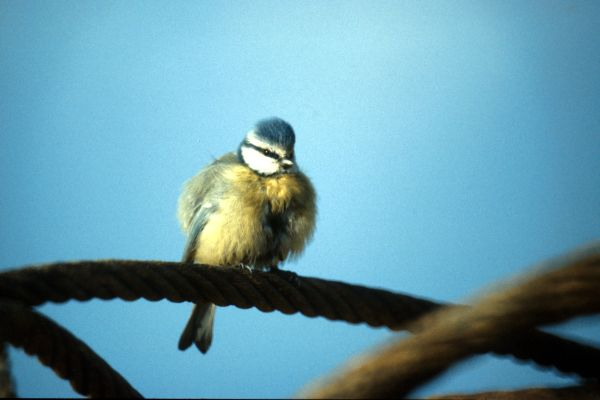 Blue Tit on wire hawser