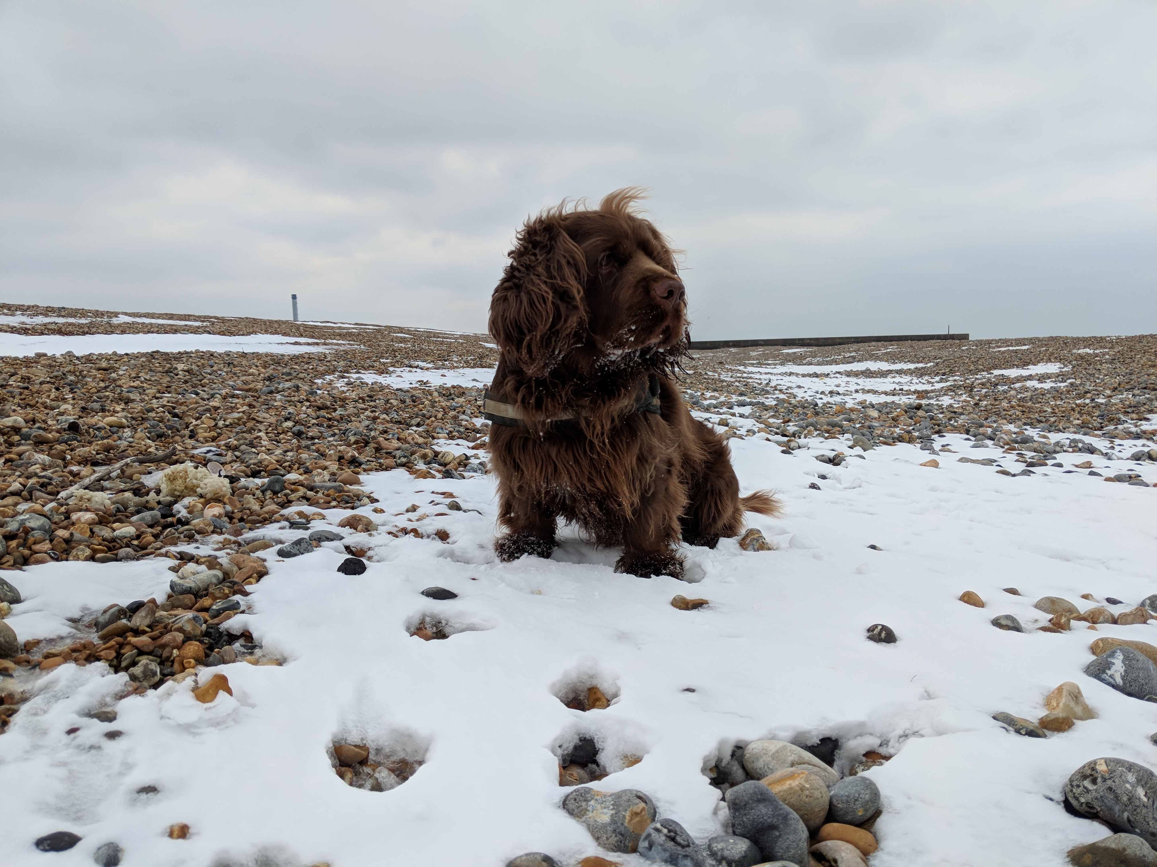 Sussex Spaniel sat on a layer of snow on a pebble beach.