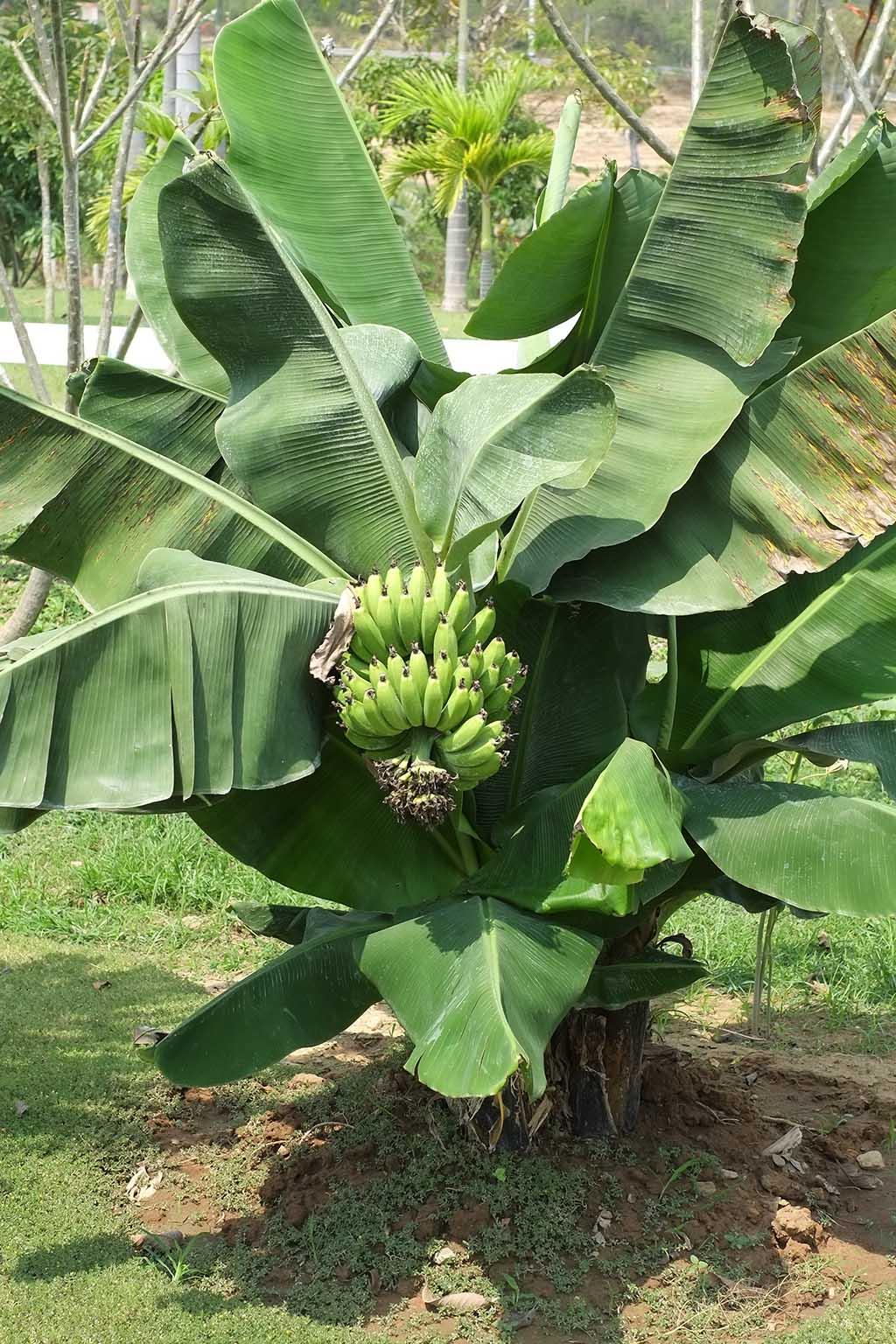 A banana plant
