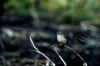 A Common Redstart