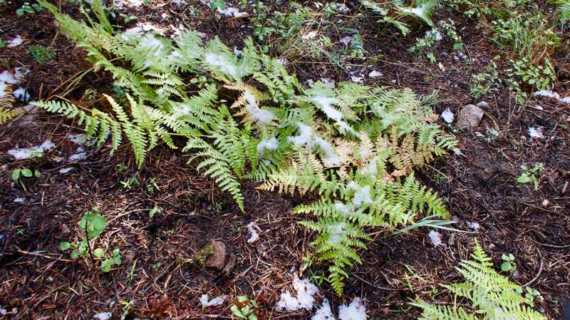 Snow accumulated on ferns
