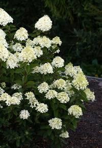 Hydrangea paniculata Living Cotton Cream®