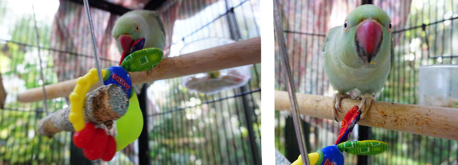 Magick the Indian Ringneck playing with her baby toy