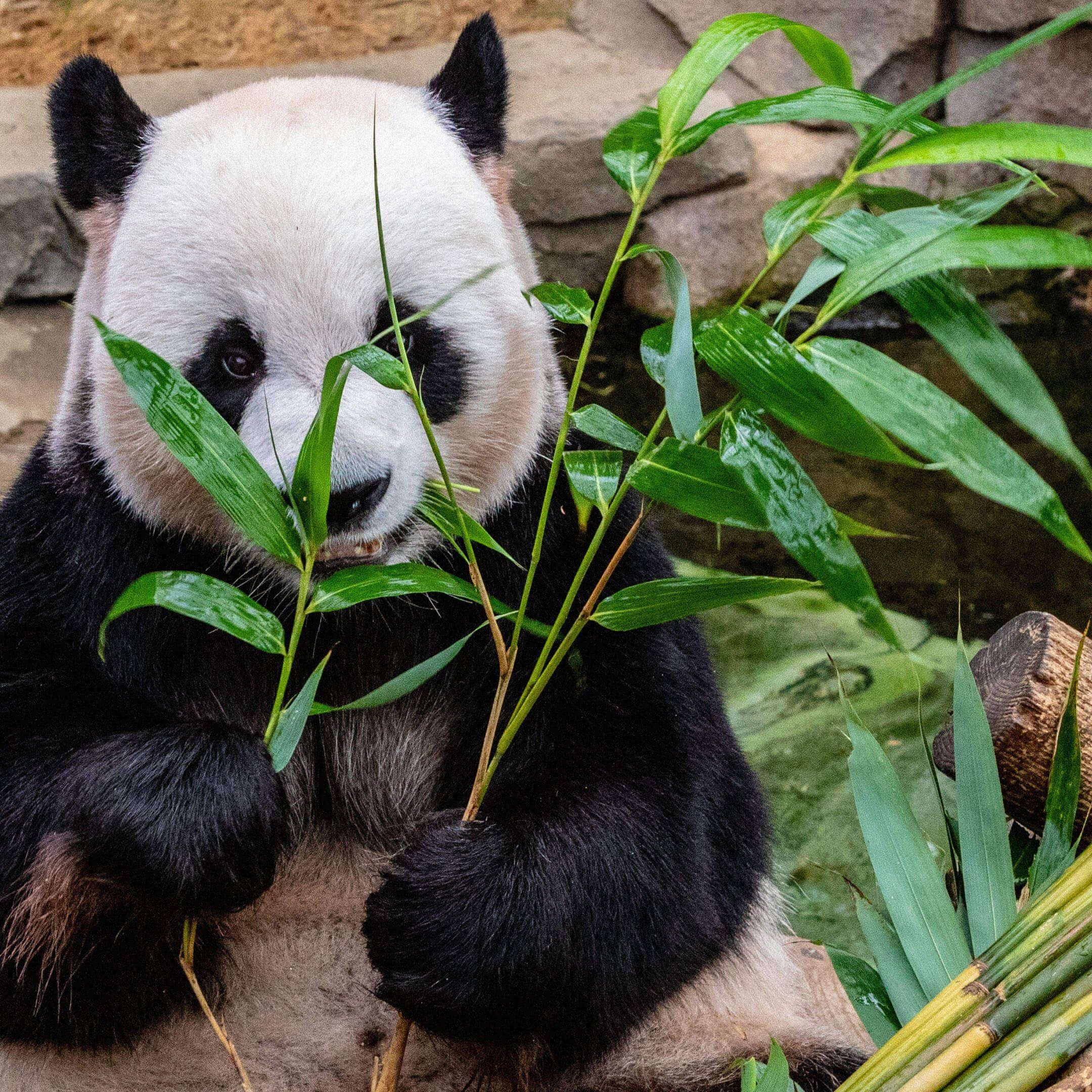 Панда вЮжной Корее. Фото: Michael Payne / unsplash.com