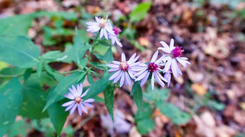 thinleaf late purple asters