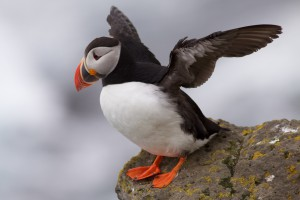 Picture of a Puffin