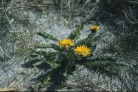 Dandelions growing on a sandy beach.