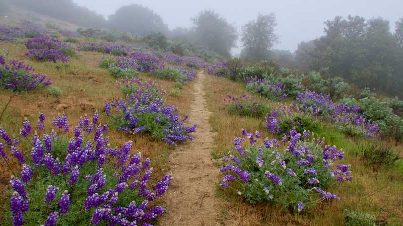 Lupines along the trail on a misty day